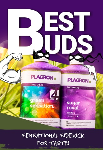BEST BUDS - Promocja na Green Senstaion i Sugar Royal
